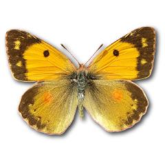 Postillon Schmetterling